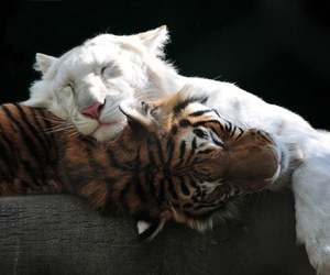 animal, tiger, and tigers image