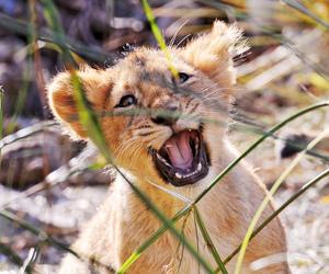 lion cub image