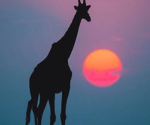 giraffe, animal, and sun image