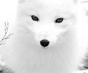 white, beautiful, and fox image