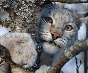 cute animals, mountain lion, and big cats image