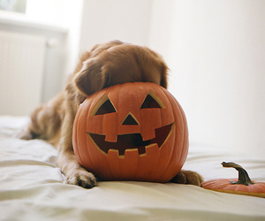 dog, Halloween, and pumpkin image