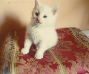 cat, little, and white image