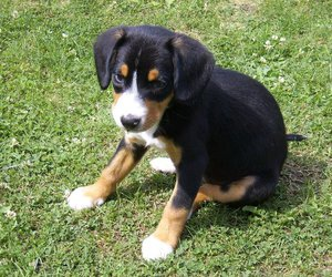 dog, cute, and entlebucher image