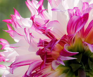 pink, dahlia, and nature image