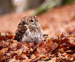 owl, autumn, and leaves image