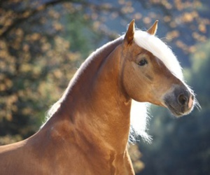 beautiful, horse, and haflinger image