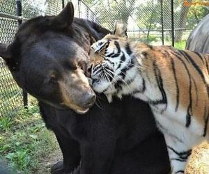 bear, tiger, and animal image