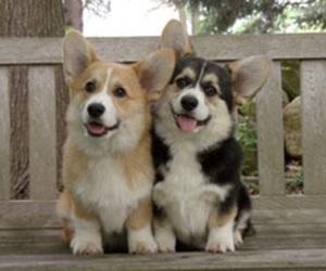 dog, corgi, and cute image
