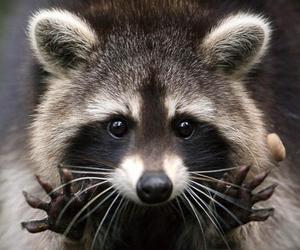 animal and raccoon image