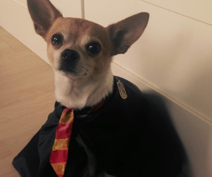 chihuahua, costume, and harry potter image