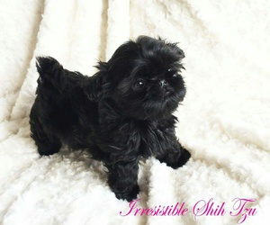 black, puppy, and shih tzu image