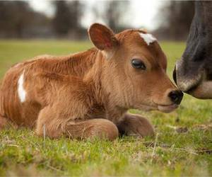 baby animals, calf, and cows image