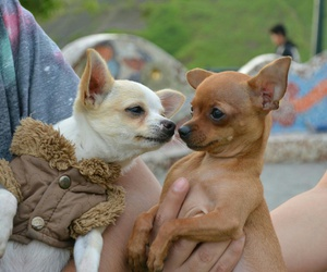 chihuahua, couple, and perfect image