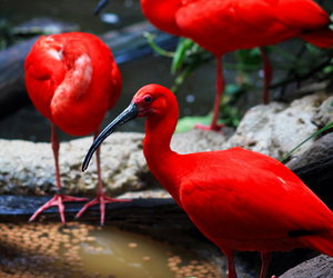 bird, ibis, and red image