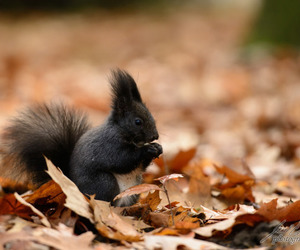 autumn and squirrel image