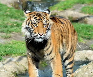 Mali, tiger, and tacoma image