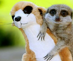 cute, animal, and meerkat image
