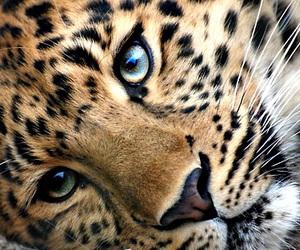 animal, leopard, and eyes image