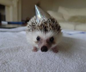 animal, hedgehog, and birthday image