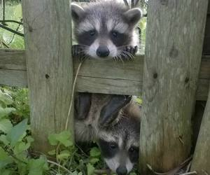 baby animals, cute animals, and racoons image