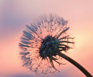 flowers, dandelion, and love image