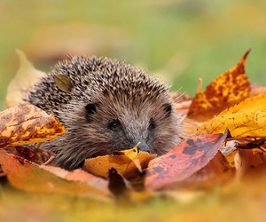 autumn, hedgehog, and leaves image