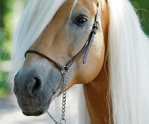 horse and haflinger image