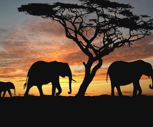 elephant, sunset, and africa image