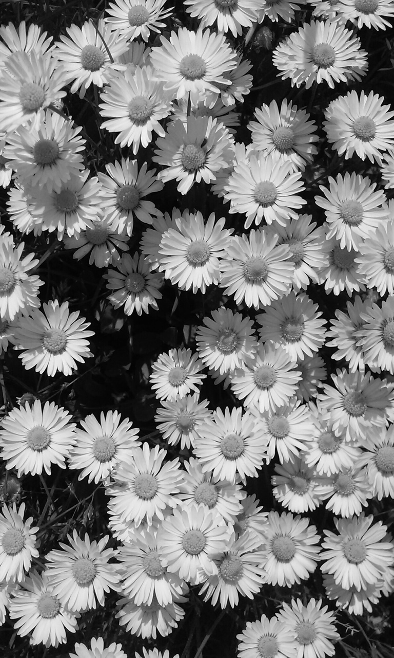Daisies Black And White Shared By Miss Stone On We Heart It