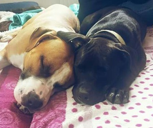 best friends, pitbull, and amstaff image