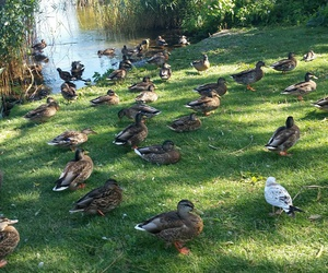 birds, duck, and pond image