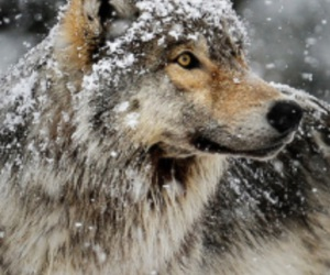 wolf, beautiful, and snow image