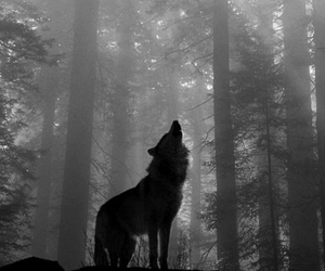 wolf, forest, and animal image