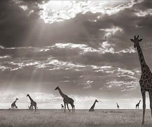 africa, Girafas, and naturaleza image