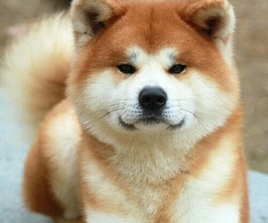 dog, akita, and animal image