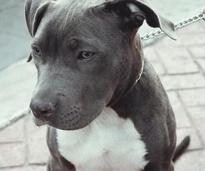 dog, animal, and pitbull image