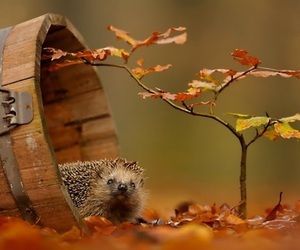autumn, animal, and hedgehog image