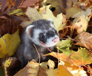 autumn, leaves, and ferret image