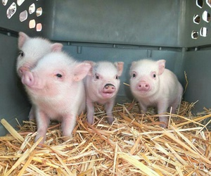 pigs, pink, and cute image