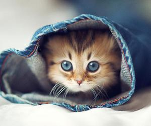 blue eyes, blue jeans, and cute kitty cat kitten image