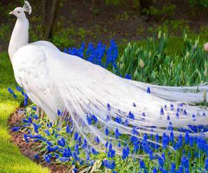 peacock, white, and flowers image