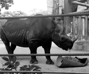 chicago, rhino, and lincoln park zoo image