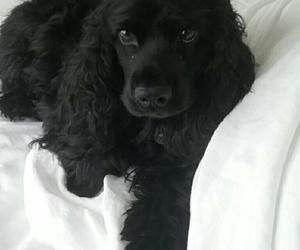 adorable, black, and cocker spaniel image