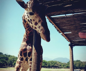 giraffe, zoo, and zoofari image