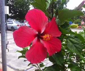 flower, hibiscus, and Malaysia image