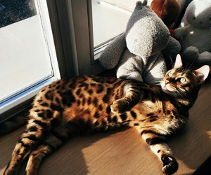 bengal, cat, and eyes image