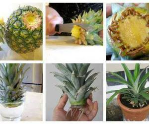 diy, pineapple, and plants image
