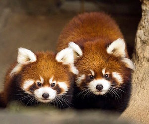 Red panda and cute image