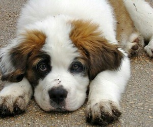 adorable, bernard, and dog image